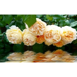 Papier peint photo romantique tapisserie florale - Les roses orangées au bord de l'eau