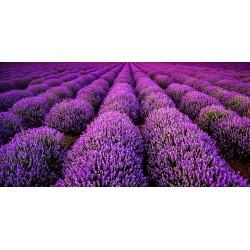 Revêtement de sol paysage provençal - Le champ de lavande violette