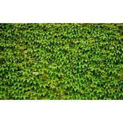 Mur végétal - Les vignes grimpantes