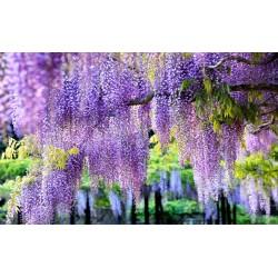 Papier peint photo floral macrophotographie - Les glycines ravissantes