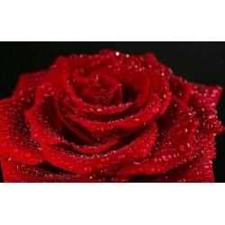 Papier peint photo romantique macrophotographie - La rose rouge