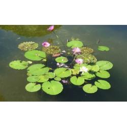 Revêtement de sol zen paysage nature - Les nénuphars dans l'étang