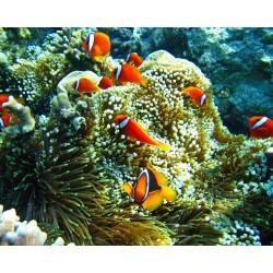 Revêtement de sol océan - Les poissons clowns avec les anémones de mer